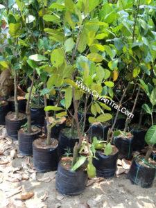 Hình cây mít thái siêu sớm