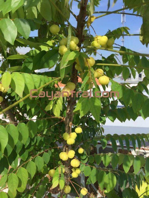 Cây chùm ruột trồng chậu đã ra trái của một khách hàng đã gửi cho Hoàng Long