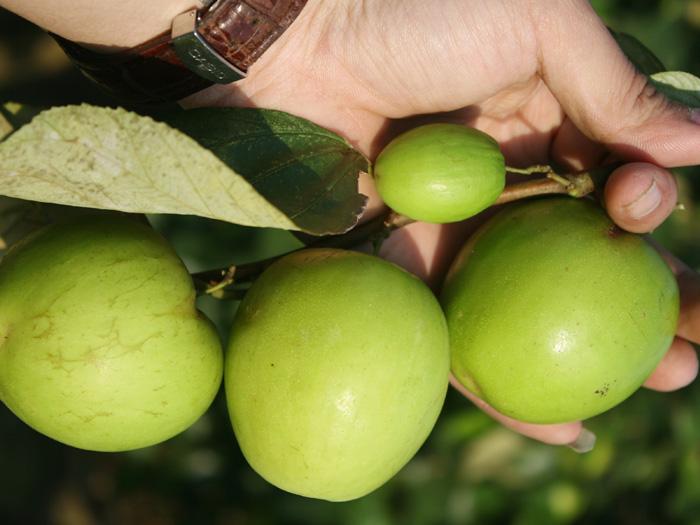 Trái táo thái