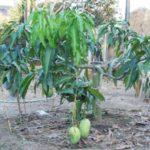 Hình mẫu cây xoài tứ quý