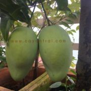 Hình cây xoài tứ quý trồng chậu của một khách hàng gửi cho cửa hàng
