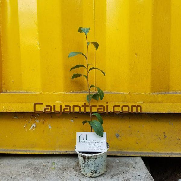 Ảnh mẫu cây trà xanh. Chụp 9/9/2017. Giá: 20.000/Cây