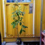 Ảnh mẫu cây giống thanh trà ngọt. Cây chiết nhánh. Chụp 19/9/2017. Giá: 120.000/Cây Giá số lượng hơn 50 cây vui lòng liên hệ trực tiếp
