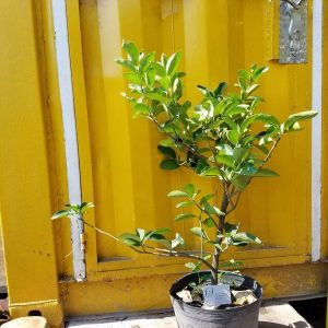 Ảnh mẫu cây chanh giấy không hạt Limca. Chụp 07/03/2018. Giá: 120.000/Cây