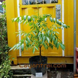Ảnh mẫu cây cóc thái đang bán. Giá: 75.000/Cây (Ảnh chụp 23/8/2017) Cây cao khoảng 70cm
