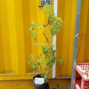 Ảnh mẫu cây đinh lăng lá nhỏ đang bán 1/8/2017. Giá: 60.000/Cây Hình ảnh có thể thay đổi theo từng cây, đợt hàng. Khi đặt hàng online nhân viên sẽ liên hệ gửi hình cây trước khi giao