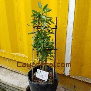 Ảnh mẫu cây dưa pepino. Chụp 1/11/2017. Giá: 100.000/Cây