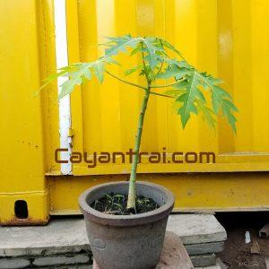 Hình mẫu loại cây đu đủ cơm vàng đang bán. Giá: 90.000/Cây (Ảnh chụp 17/8/2017)