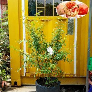 Hình mẫu cây lựu đỏ. Chụp 9/11/2017. Ảnh cây có thể thay đổi tùy vào từng cây. Nếu đặt hàng online nhân viên sẽ liên hệ gửi hình cây sẽ giao.