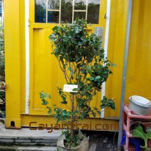 Hình mẫu cây Surinam cherry. Chụp 10/9/2017. Giá: 700.000/Cây (Surinam cherry là một loại giống mới. Không phổ biến ở Việt Nam. Còn đang nhập giống từ nước ngoài nên giá thành hiện tại khá cao) Hình ảnh có thể thay đổi theo từng cây. Khi đặt hàng online nhân viên cửa hàng sẽ liên hệ gửi hình cây sẽ giao.