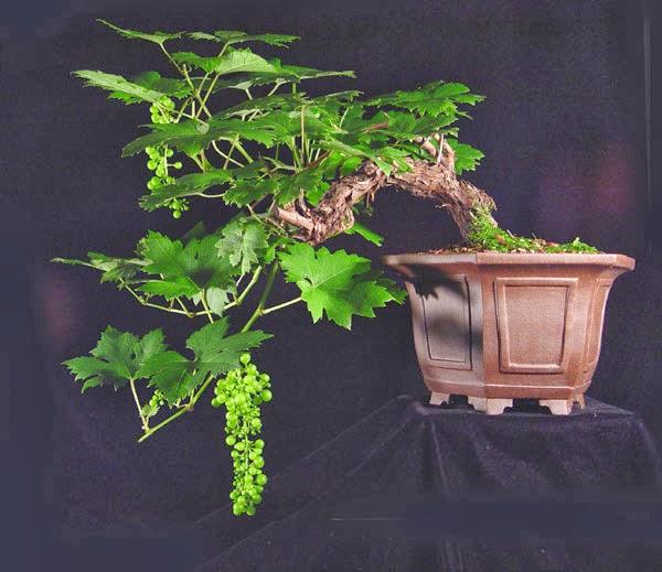 Hình minh họa nho bonsai