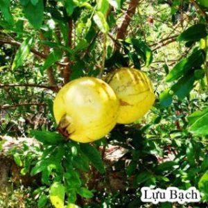 Ảnh minh họa trái Lựu trắng (Lựu bạch)