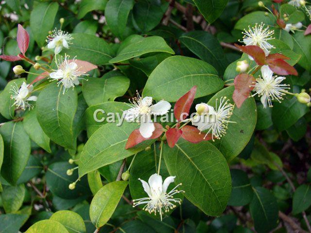Hoa Surinam Cherry