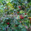 Surinam Cherry khi ra trái