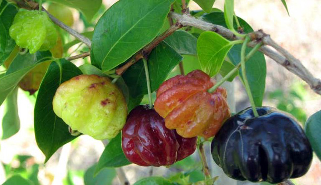 Ảnh trái surinam cherry