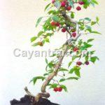 Hình minh họa Surinam cherry trồng chậu bonsai