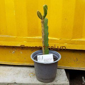 Hình mẫu cây giống thanh long ruột tím. Chụp 19/9/2017. Giá: 35.000/Cây
