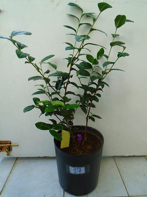 *Ảnh minh họa cây trà xanh khi trồng chậu. Không phải sản phẩm đang bán.