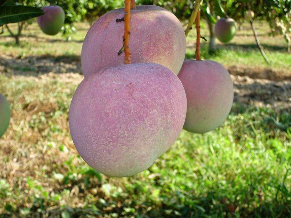 Hình minh họa trái xoài Úc