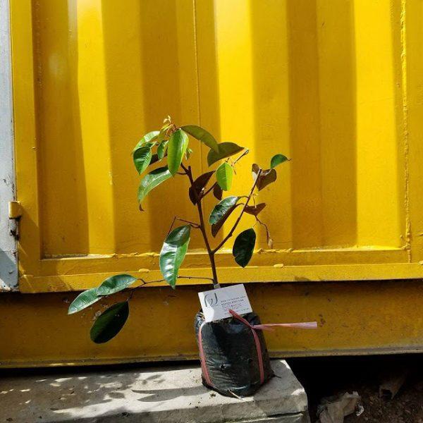 Ảnh mẫu cây giống vú sữa lò rèn. Chụp 18/9/2017. Giá: 50.000/Cây