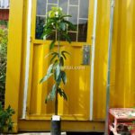 Hình mẫu loại cây xoài đài loan xanh. Giá: 60.000/Cây (Ảnh chụp 16/9/2017)