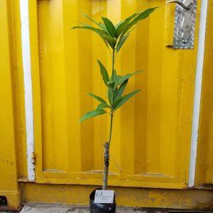 Ảnh mẫu cây xoài thái. Chụp 01/03/2018. Giá: 60.000/Cây. Cây có thể thay đổi tùy theo từng cây, ngày chụp. Khi đặt hàng online nhân viên sẽ liên hệ chụp hình cây sẽ giao.