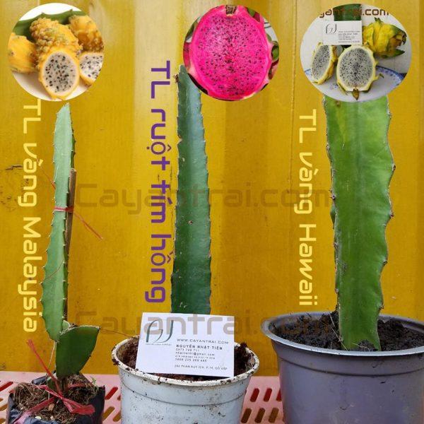Ảnh so sánh 3 loại thanh long. Thanh long vàng Malaysia (trái nhỏ), thanh long tím hồng và thanh long vàng Hawaii (trái to)