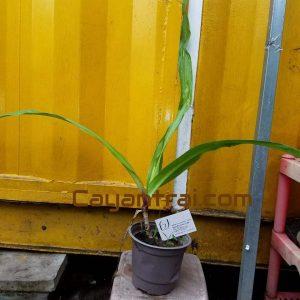 Ảnh mẫu cây giống trinh nữ hoàng cung. Giá: 60.000/Cây. Chụp 24/10/2017
