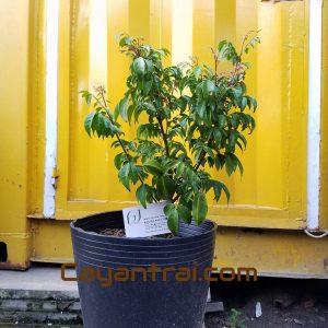 Ảnh mẫu cây khế Nhật (khế chua). Chụp ngày 7/10//2017. Giá: 75.000/Cây Hình ảnh cây có thể theo từng cây, đợt hàng. Nếu đặt hàng online nhân viên sẽ liên hệ gửi hình cây sẽ giao.