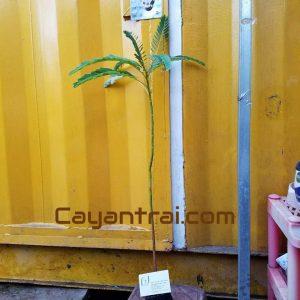 Ảnh mẫu cây so đũa tứ quý bông trắng, cao 40-50cm. Chụp 30/10/2017. Giá: 25.000/Cây Giá sỉ số lượng trên 100 cây. Giá: 8.000/Cây (Cây giống cao 5-10cm, trồng từ hạt) Giá sỉ số lượng trên 200 cây. Giá: 6.000/Cây (Cây giống cao 5-10cm, trồng từ hạt)