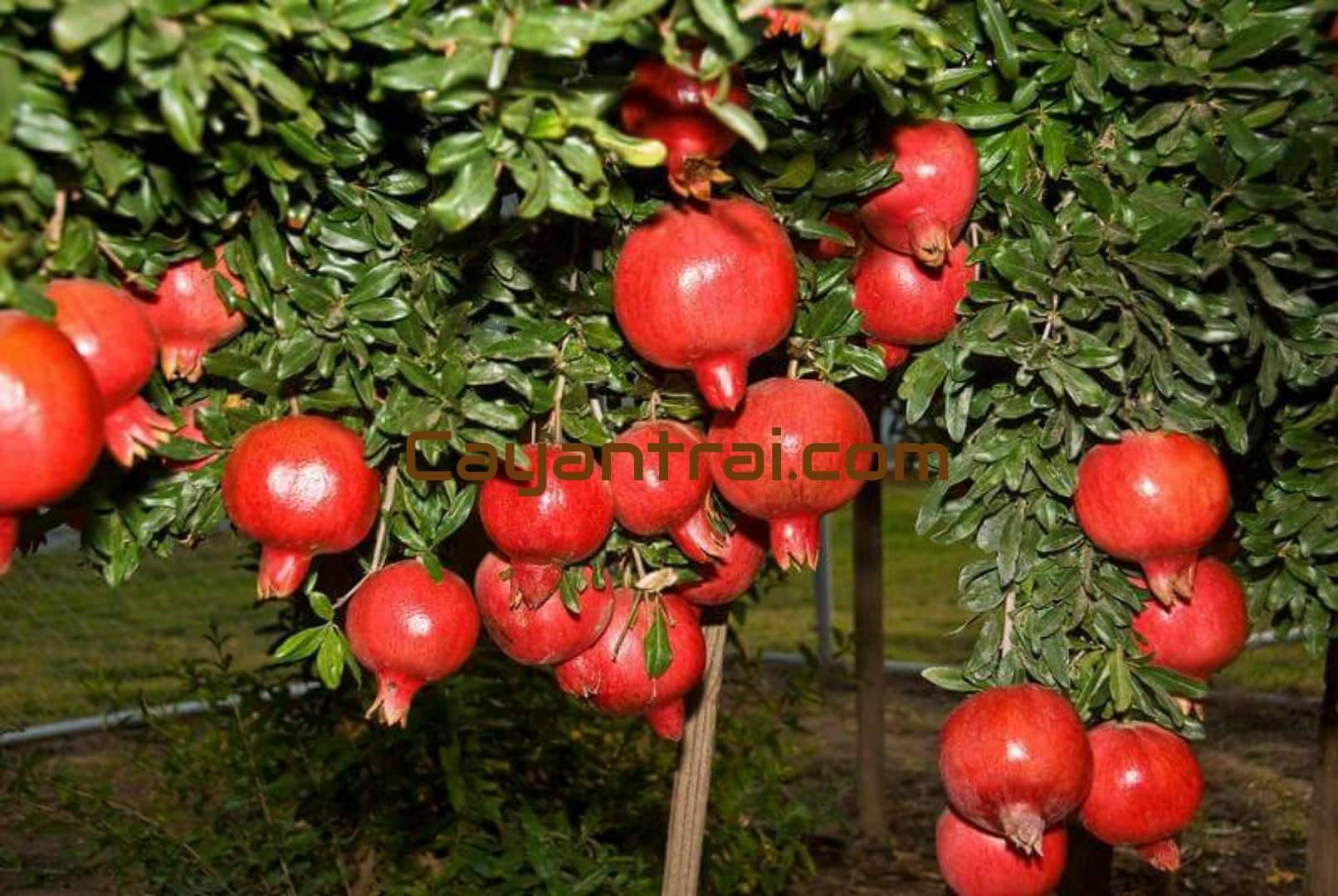 Trái lựu đỏ lùn