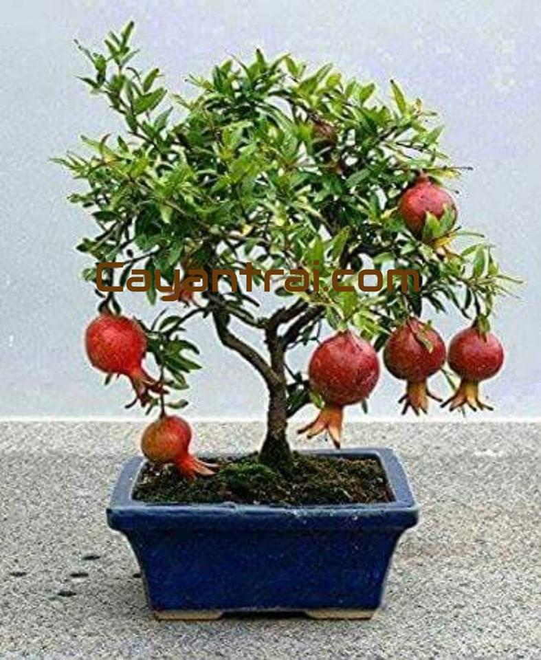 Lựu đỏ trồng chậu làm bonsai