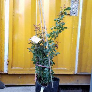Ảnh mẫu cây giống Rainy Blue. Chụp 09/12/2017. Giá: 180.000/Cây. Ảnh mẫu có thể thay đổi tùy thuộc vào thời điểm chụp và từng cây. Cho nên khi đặt hàng online nhân viên cửa hàng sẽ liên hệ gửi hình cây sẽ giao để quý khách duyệt trước