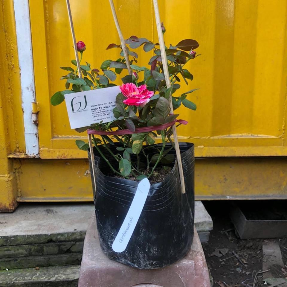 Ảnh mẫu cây hồng bụi Scentimental. Chụp 19/12/2017. Giá: 250.000/Cây
