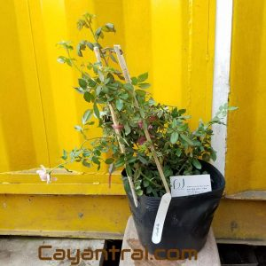 Ảnh mẫu cây giống hồng leo Huntington, trồng từ cây chiết. Chụp 10/12/2017. Giá: 220.000/Cây. Ảnh mẫu có thể thay đổi tùy thuộc vào thời điểm chụp và từng cây. Cho nên khi đặt hàng online nhân viên cửa hàng sẽ liên hệ gửi hình cây sẽ giao để quý khách duyệt trước