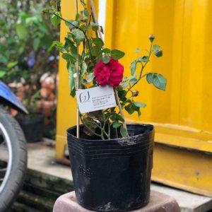 Ảnh mẫu cây hồng leo Red eden. Cây chiết nhánh. Chụp 09/12/2017. Giá: 250.000/Cây. Ảnh chụp có thể khác theo từng cây và thời điểm chụp. Khi đặt hàng online nhân viên sẽ liên hệ gửi hình để khách hàng duyệt trước khi giao.