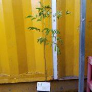 Ảnh mẫu cây mác mật. Giá: 50.000/Cây. (Chụp 03/12/2017)