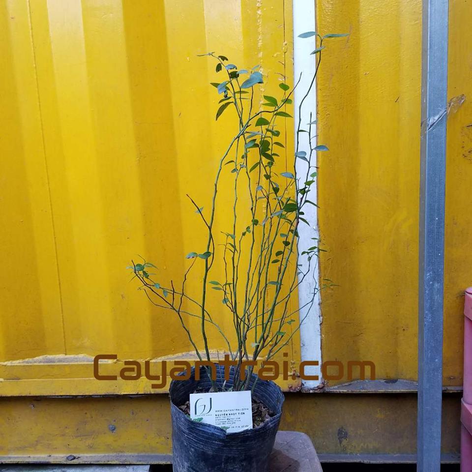 Hình mẫu cây việt quất. Size nhỏ. Giá: 300.000 (Chụp 10/12/2017)