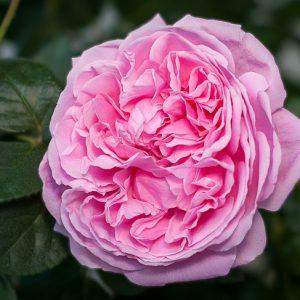 Hoa hồng bụi Bishop's Castle