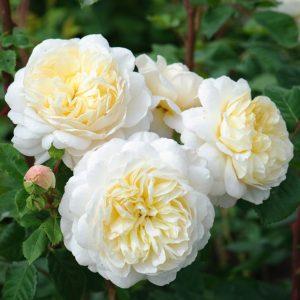Hoa hồng bụi Crocus. Ảnh sưu tầm