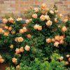 Hoa hồng bụi Lady of shalott (ảnh sưu tầm từ trang chủ của David Austin, nhà lai tạo giống này)