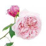Hoa hồng leo Spirit of freedom