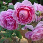 Hoa hồng leo Huntington