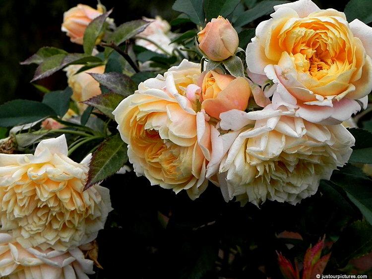 Hoa hồng loe Jerri Jennings