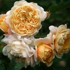 Hoa hồng leo Jeri Jenning