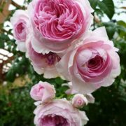 Hoa hồng leo Mon Coeur
