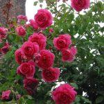 Cây hoa hồng leo Red Parade
