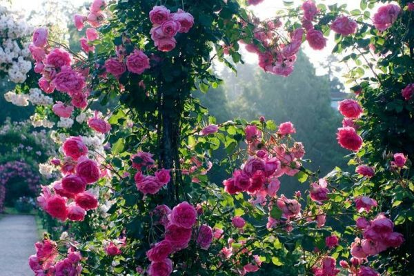 Cây hoa hồng leo Parade