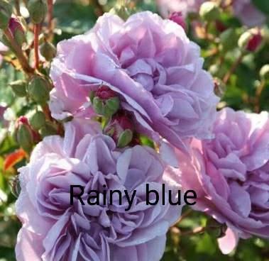 Hoa Rainy Blue nở tại nhà vườn miền Tây. Ảnh chụp thực tế