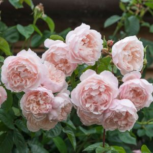 Cây hoa hồng leo The Generous Gardener
